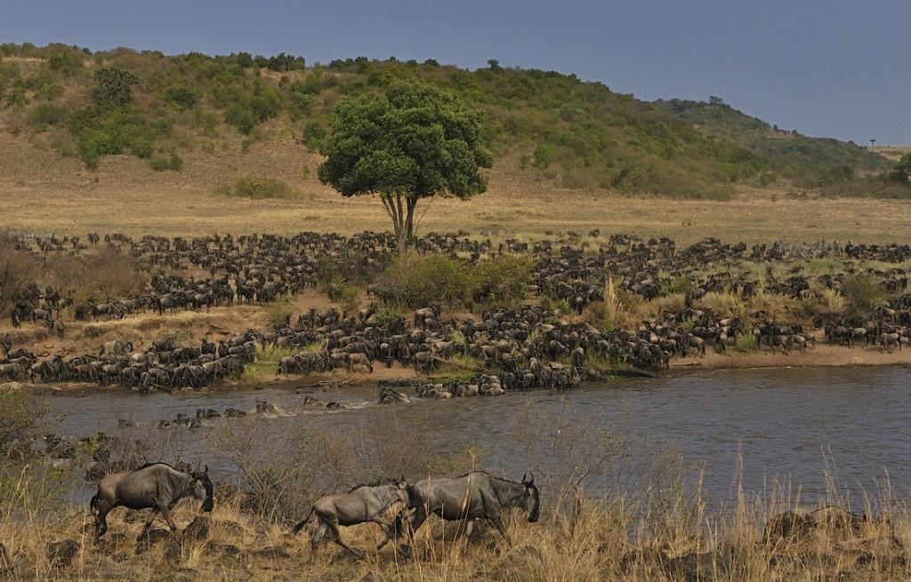masai mara - migration